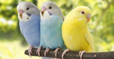 Muhabbet Kuşu Renkleri ve Desenleri