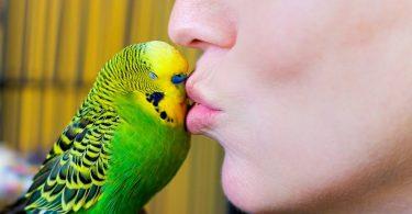 Yeni Alınan Muhabbet Kuşu Nasıl Alıştırılır?