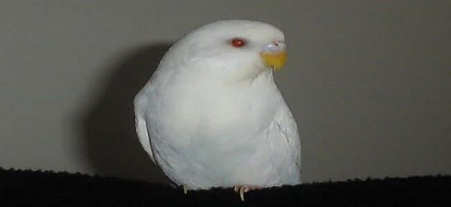Albino Muhabbet Kuşu