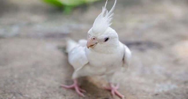 Albino (Akşın) Sultan Papağanı