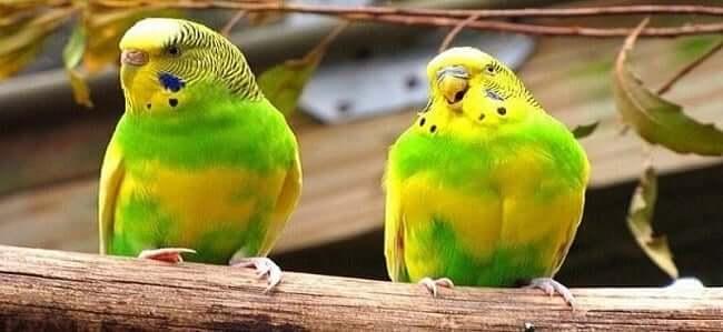 Baskın Parçalı Muhabbet Kuşu