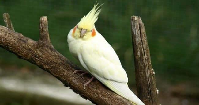 Lutino (Limon) Sultan Papağanı