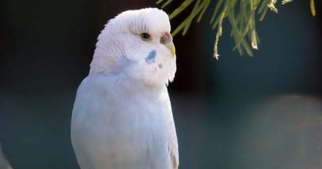 Muhabbet Kuşları Hakkında Bilgi