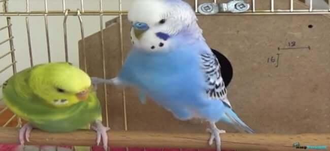 Muhabbet Kuşu Ayak Atma