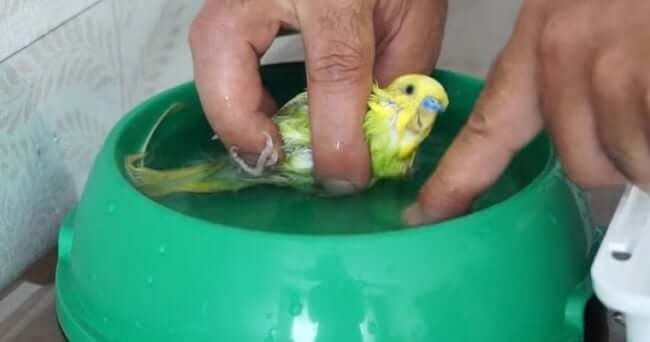 Muhabbet Kuşu Banyo Yaptırma