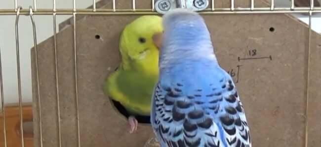 Muhabbet Kuşu Kusma