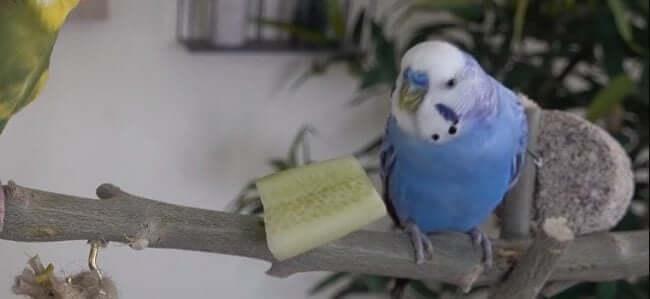 Muhabbet Kuşu Salatalik Yiyor