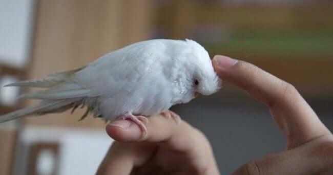 Muhabbet Kuşuna İlgi