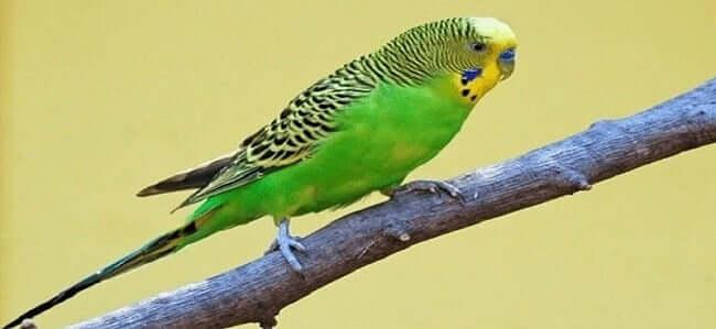 Normal Yeşil Muhabbet Kuşu