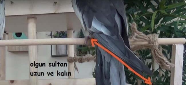 Olgun Sultan Papağanı Kanadı