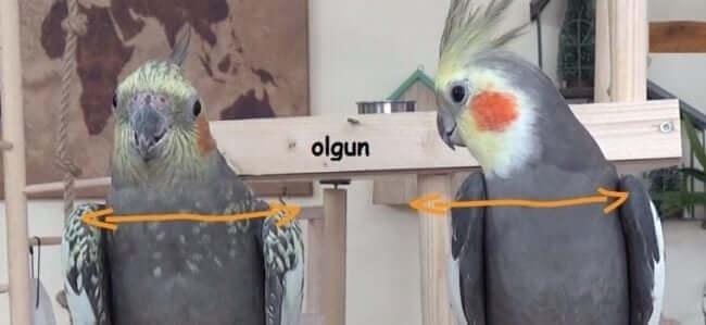 Olgun Sultan Papağanı Omuz Genişliği
