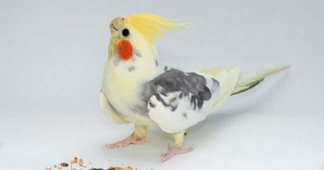 Pied (Alaca) Sultan Papağanı