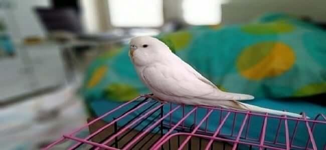 Siyah Gözlü Tek Renk Beyaz Muhabbet Kuşu