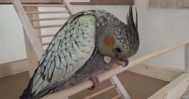 Sultan Papağanı Ayak Temizleme