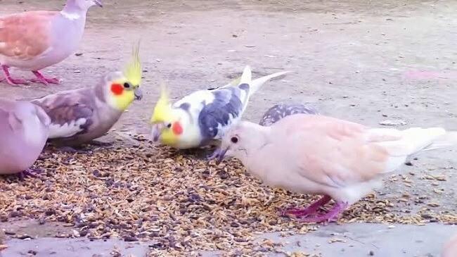 Sultan Papağanı Doğada Ne Yer?