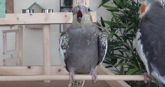 Sultan Papağanı Esneme