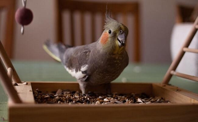 Sultan Papağanı Evde Ne Yer?