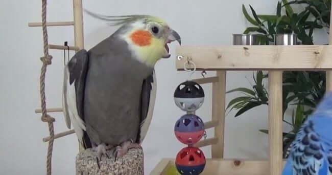 Sultan Papağanı Isırma - Gaga Atma