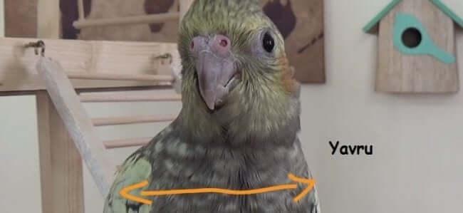 Yavru Sultan Papağanı Omuz Genişliği