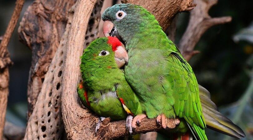 Cennet Papağanı Cinsiyet Ayrımı