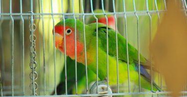 Cennet Papağanı Kafesi Nasıl Olmalı?