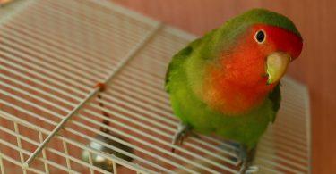 Cennet Papağanı Konuşur mu?