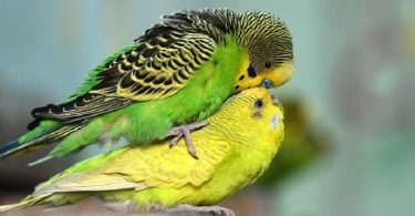 Muhabbet Kuşu Çiftleşme Belirtileri