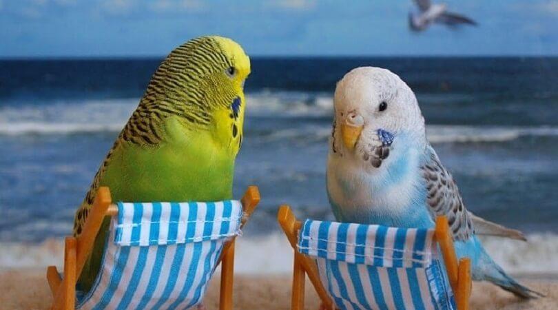 Muhabbet Kuşunu Mutlu Etmenin Yolları