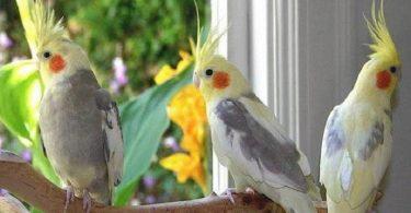 Sultan Papağanı Alırken Dikkat Edilmesi Gerekenler
