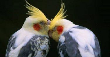 Sultan Papağanı Cinsiyet Ayrımı