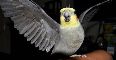 Sultan Papağanı Davranışları ve Anlamları