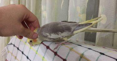 Sultan Papağanı Eğitimi