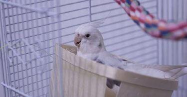 Sultan Papağanı Kafesi Nasıl Olmalı?
