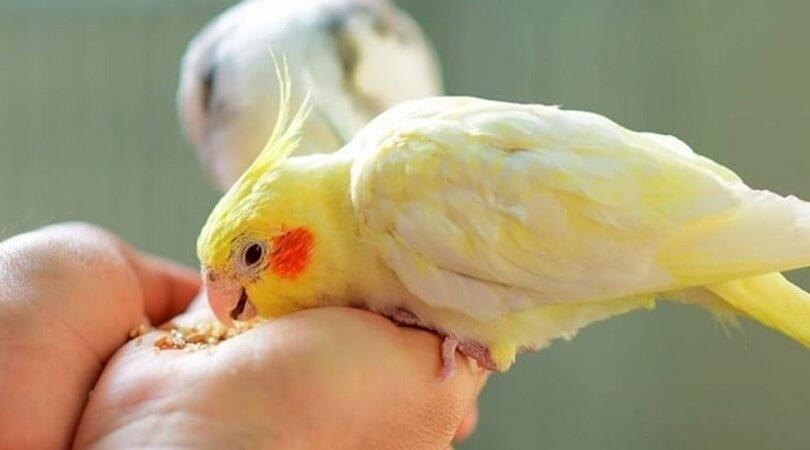 Sultan Papağanı Ne Yer?