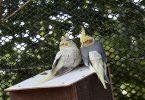 Sultan Papağanı Üretimi Sırasında Yapılan Hatalar