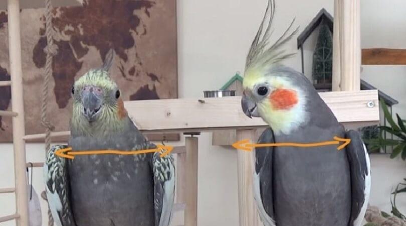 Sultan Papağanı Yaşı Nasıl Anlaşılır?