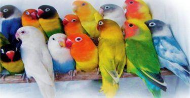 Cennet Papağanı Yavrusu