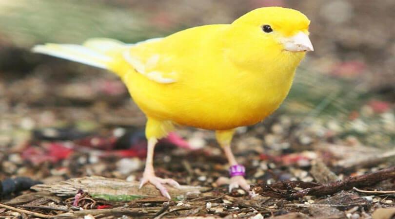 Kanarya Kuşu Bakımı Nasıl Yapılır?