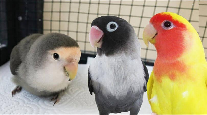 Cennet Papağanlarının Özellikleri