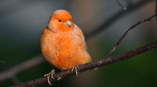 Erişkin Kanarya Kuşunun Beslenmesi