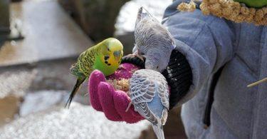 Hasta Muhabbet Kuşları Nasıl Beslenmelidir?
