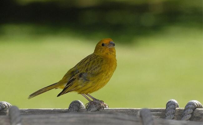 Kanarya Kuşlarının Kökeni