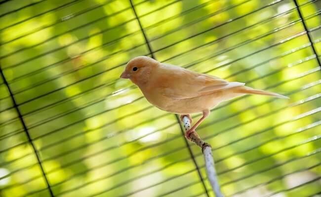 Kanarya Kuşu Dinlenme Dönemi