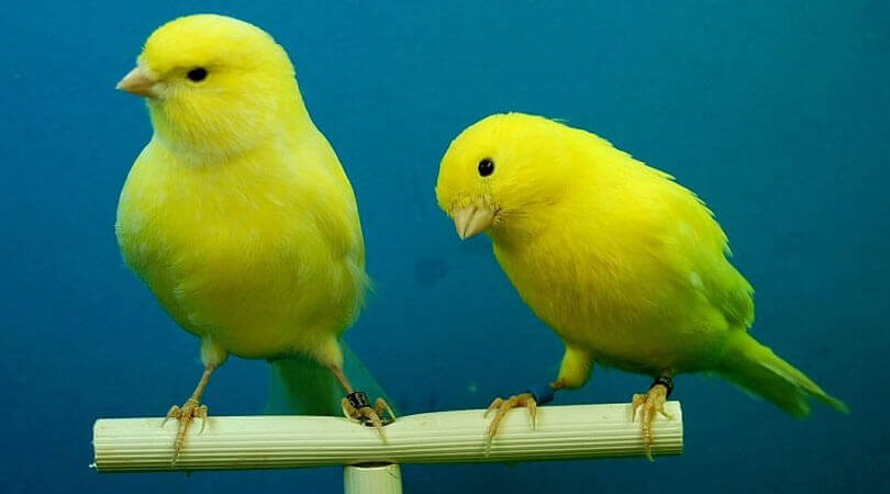 Kanarya Kuşu Ne Yer?