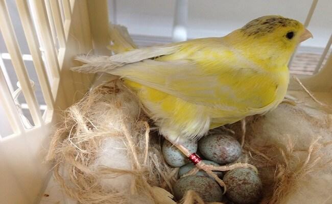 Kanarya Yuvası ve Yumurtaları