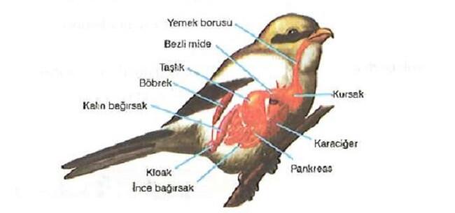 Kuşlarda Sindirim Sistemi Nasıl Çalışır?