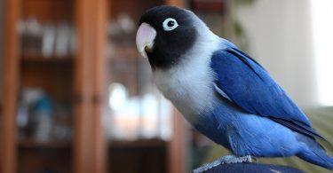Maskeli Cennet Papağanı