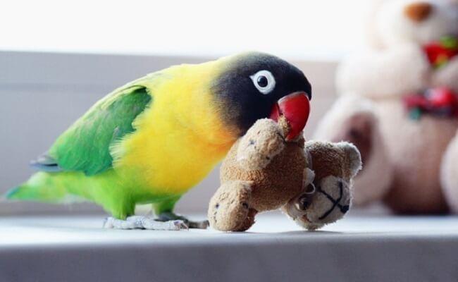 Maskeli Cennet Papağanı Özellikleri