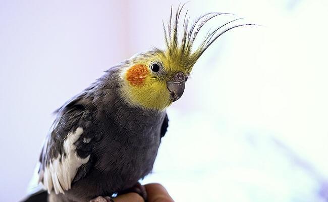 Sultan Papağanı Sahiplenme