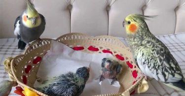 Sultan Papağanı Yavrusu